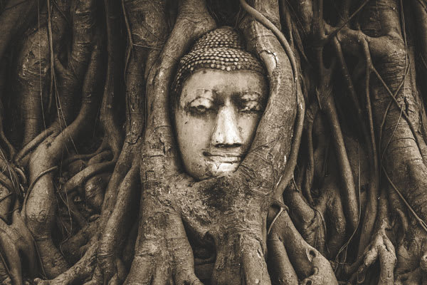 Buddha head swallowed up by a tree trunk