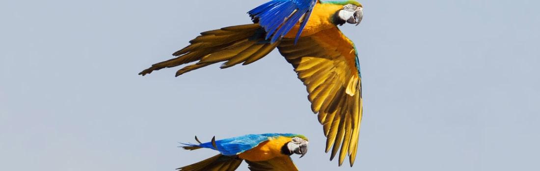 Two parrots in flight