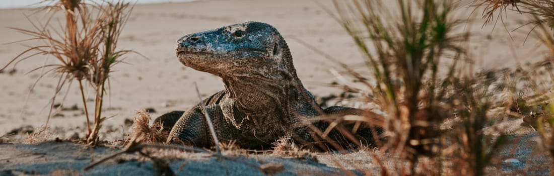 Komodo dragon on the beach