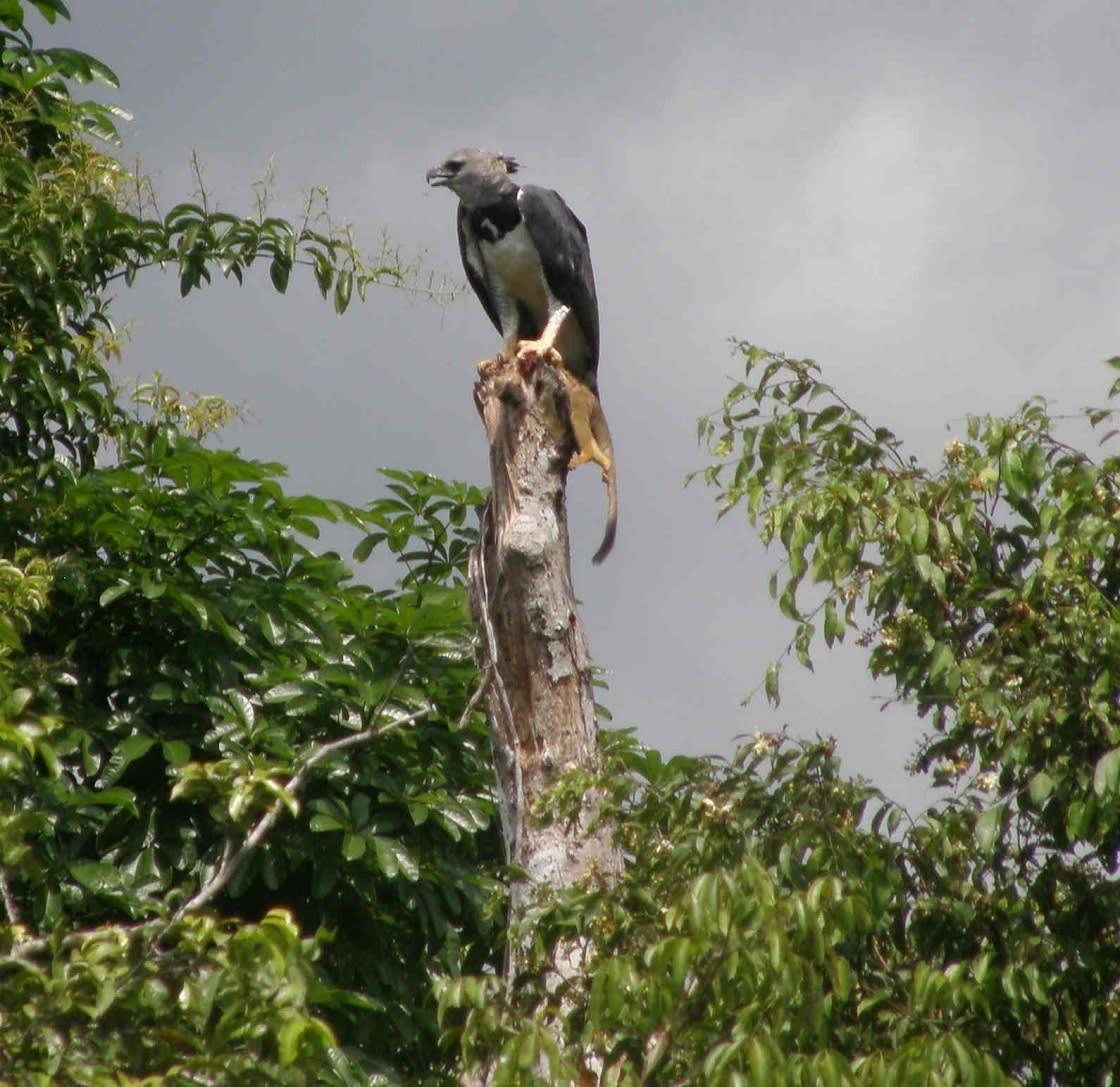 Harpy Eagle And Monkey