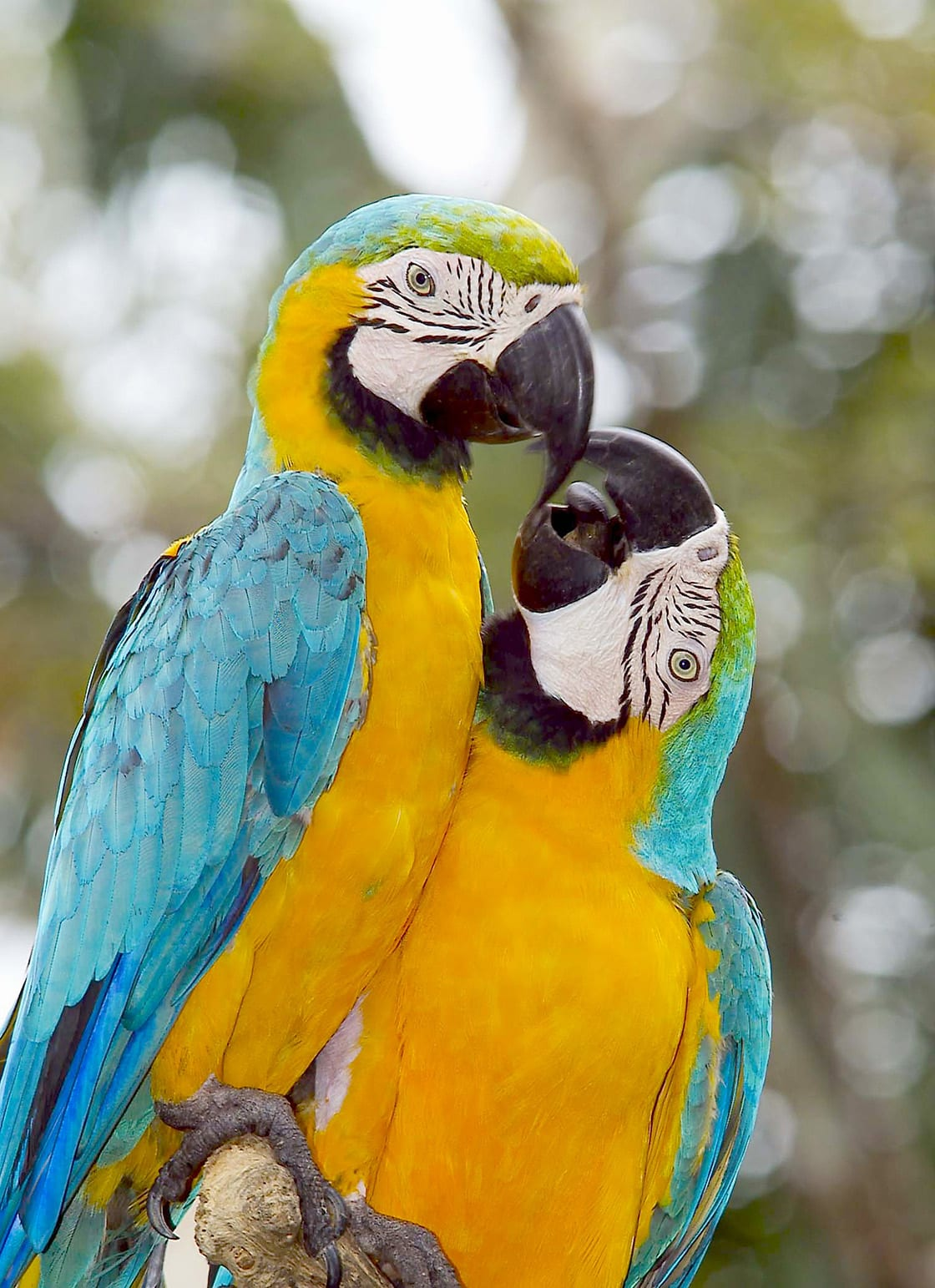 Couple Of Blue And Gold Macaw
