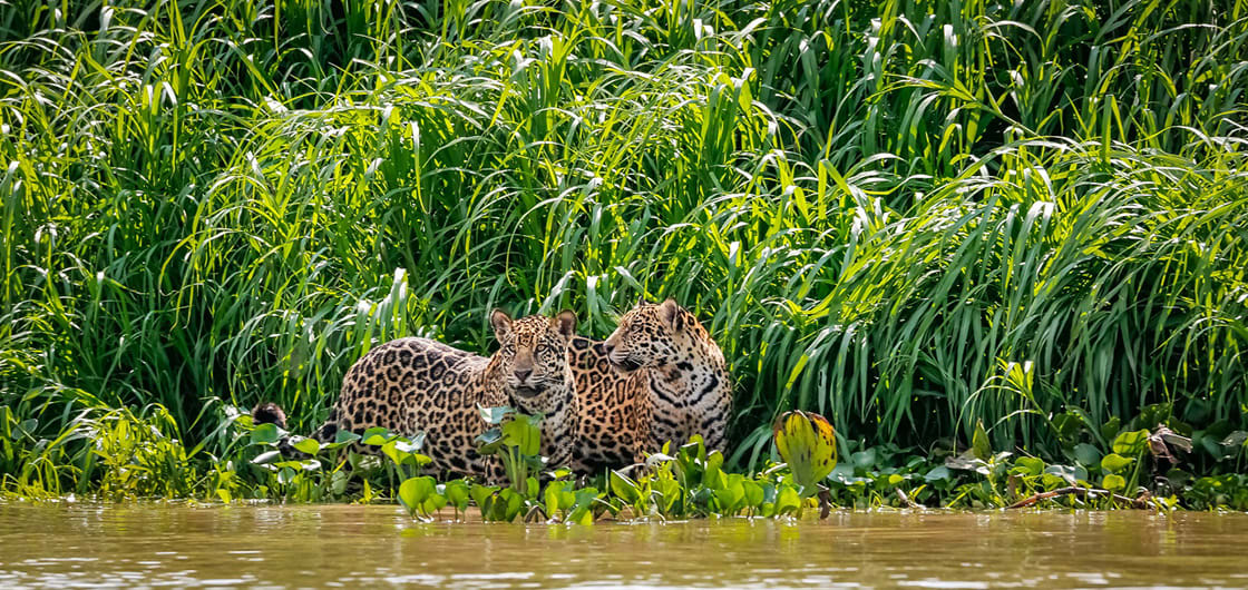 Two Jaguar Brothers Standing On A River Edge In Pantanal.