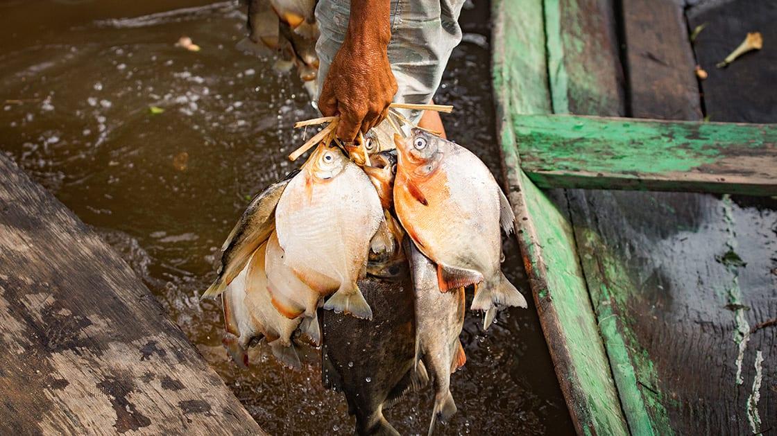 Amazon Fishing In Maraa, Brazil