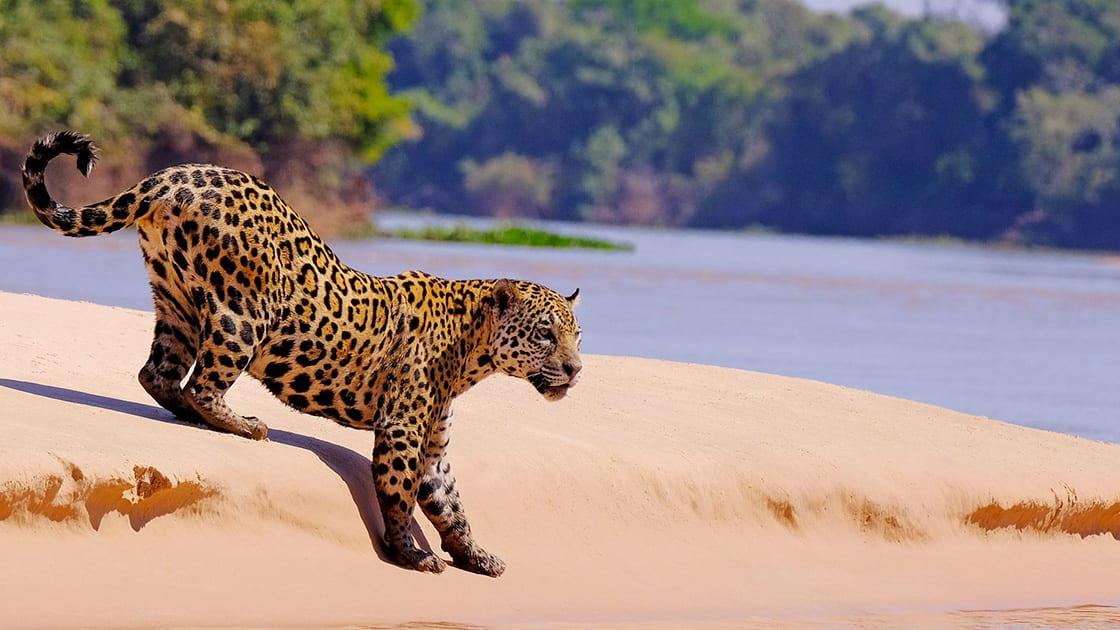 Young Jaguar Walking Towards The Water