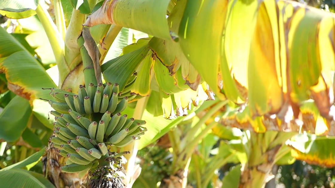 Green Yellow Banana Tree Fruit Bunch Exotic Tropical Sunny Summer