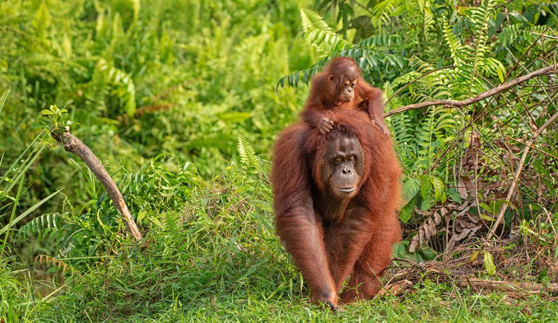 Iconic orangutans in Borneo Island