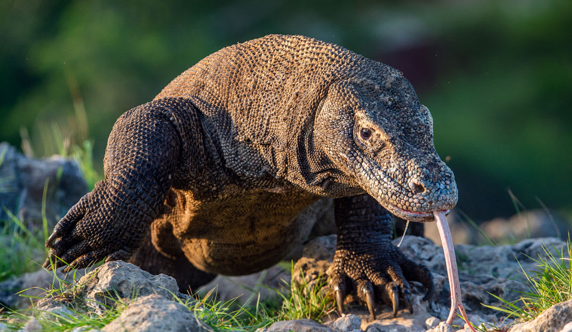 Legendary Komodo Dragon has existed for millions of years