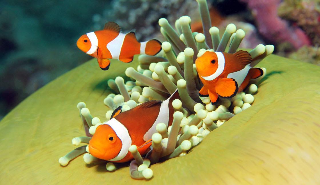nemo clown fish pulau bukanen indonesia