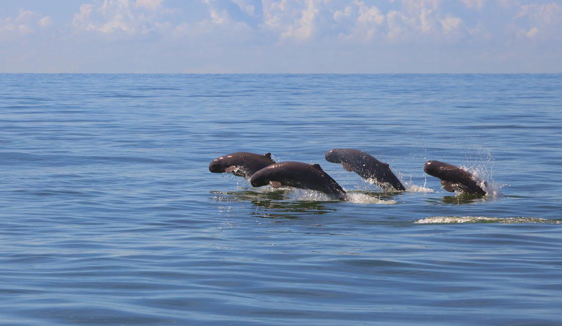 Irrawaddy-Dolphins