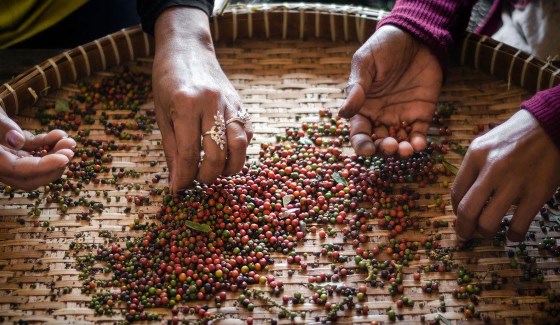 pepper seeds molle kampot cambodia