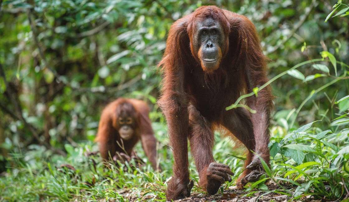 Orangutans in the jungle