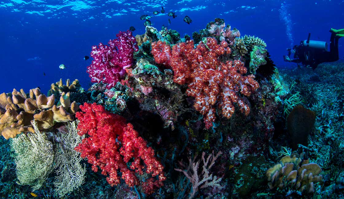Coral and a diver