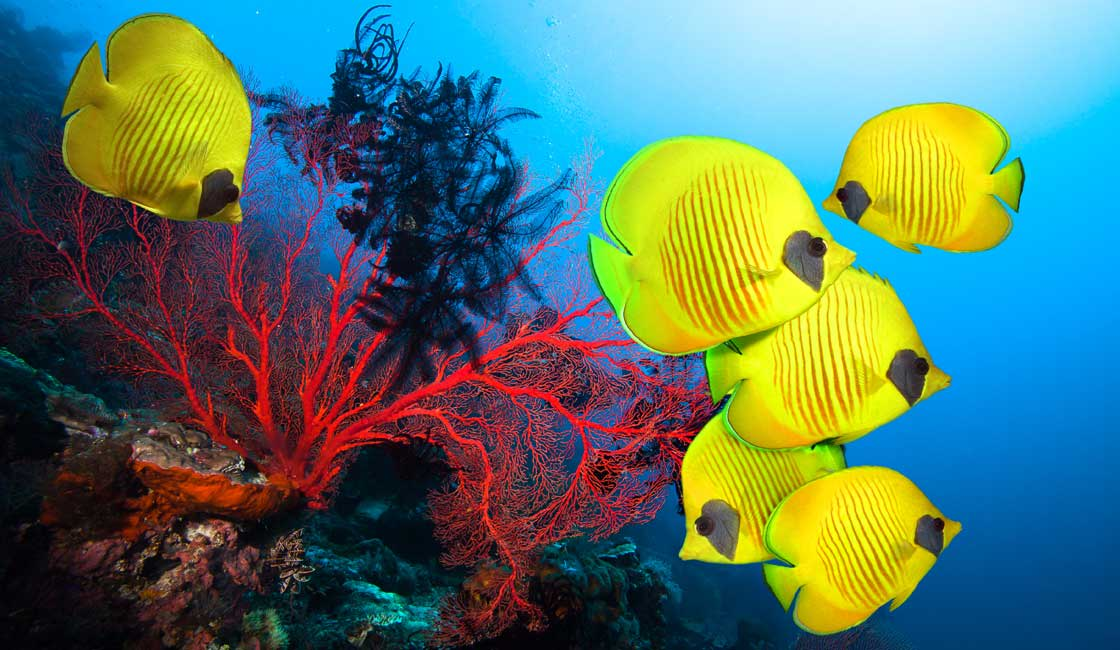 Yellow fish and red coral