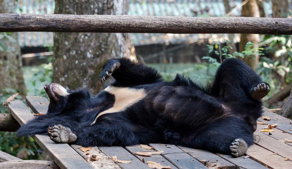 Bear on the wooden platform