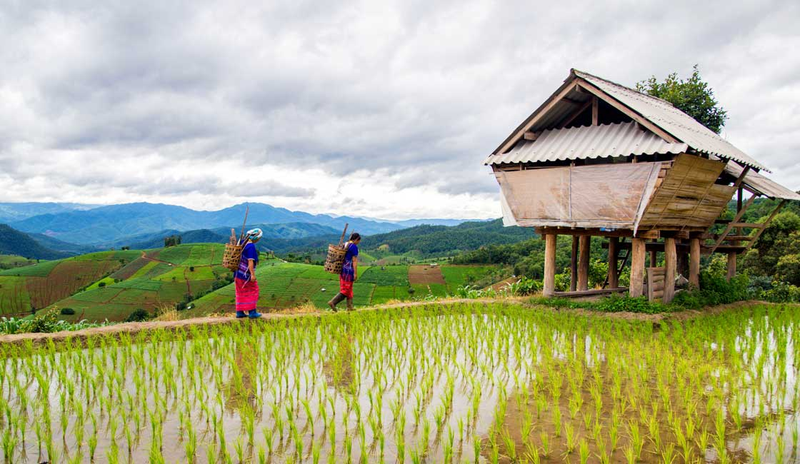 Two people in ethnic clothes walking along the rice field