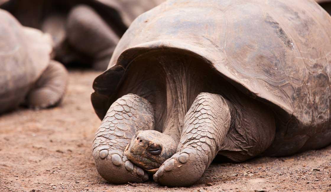 Tortoise sleeping