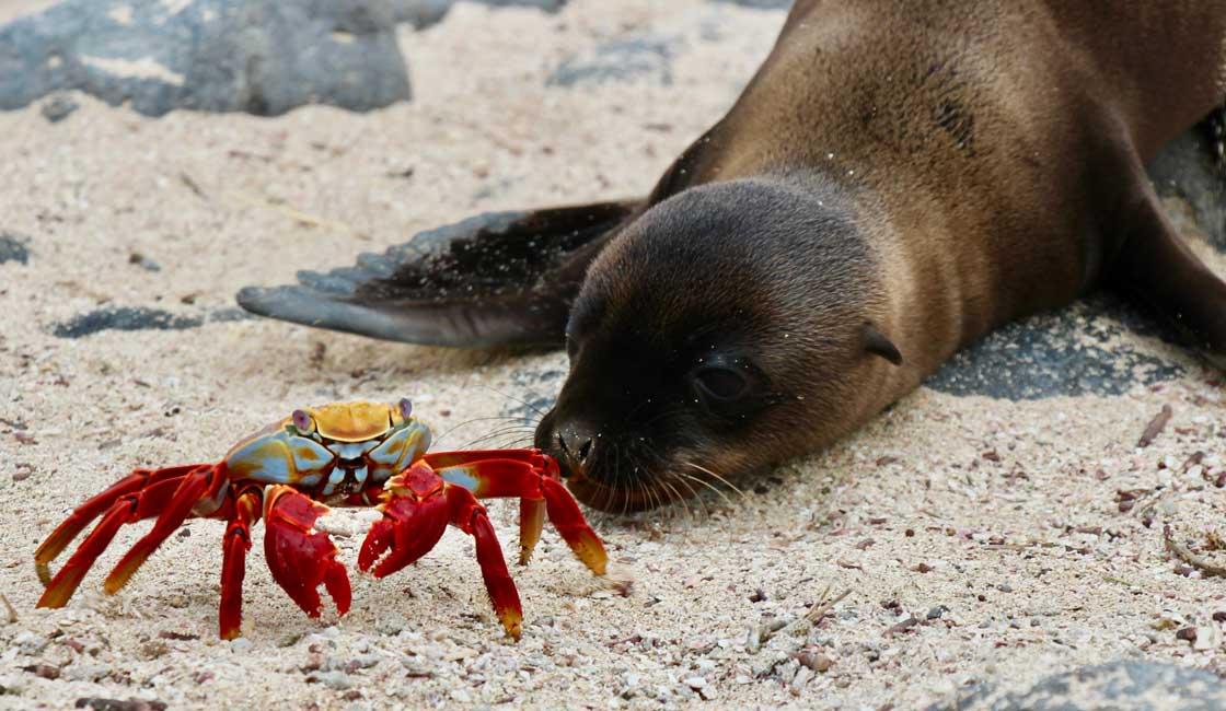 Sea lion looking at a crab