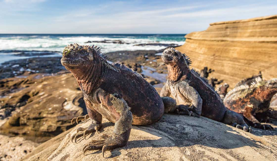A group of iguanas on the rock