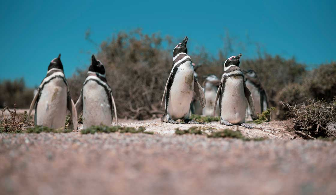 A group of Galapagos penguins