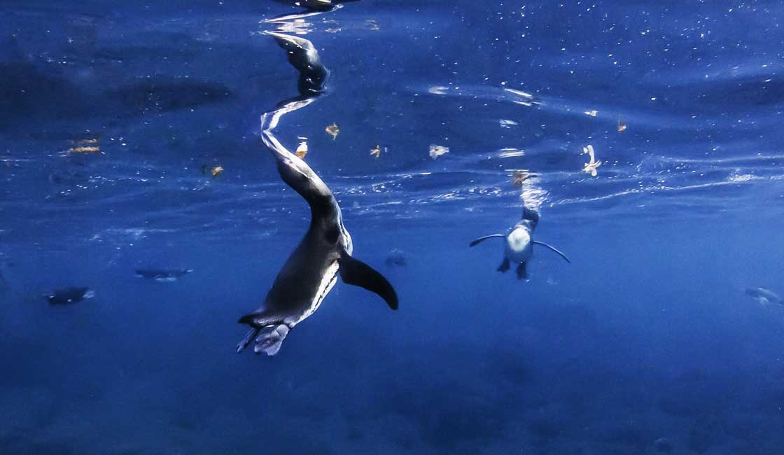Penguins catching fish under water