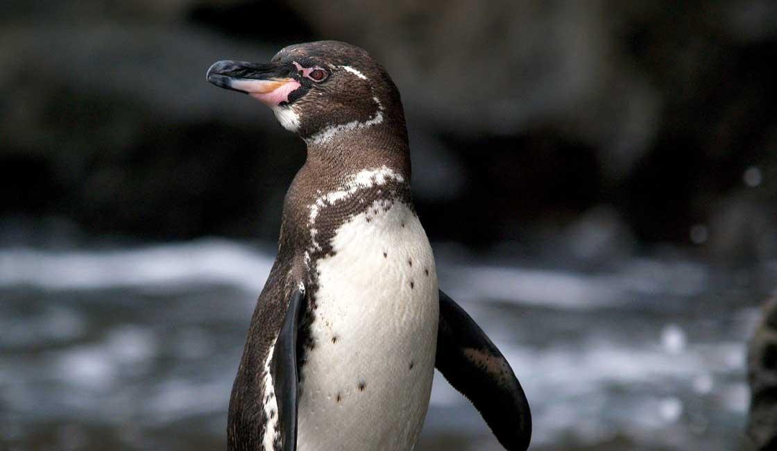Galapagos penguin closeup