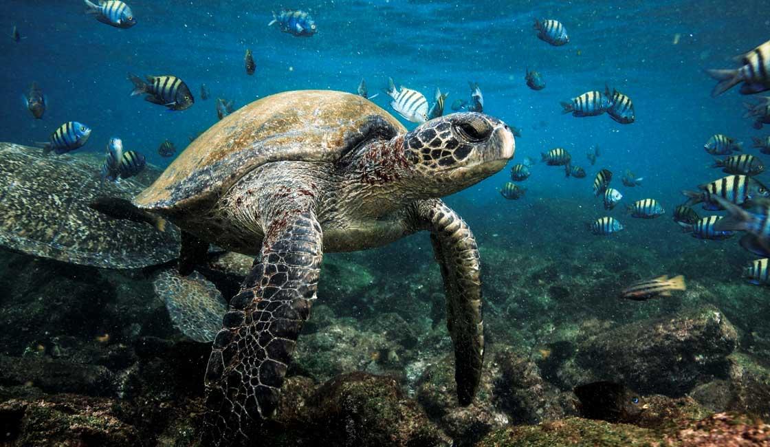 Green turtle under water