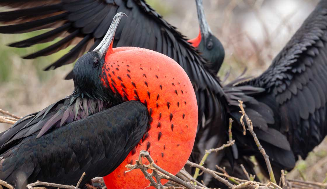 Black burds with red inflated throat