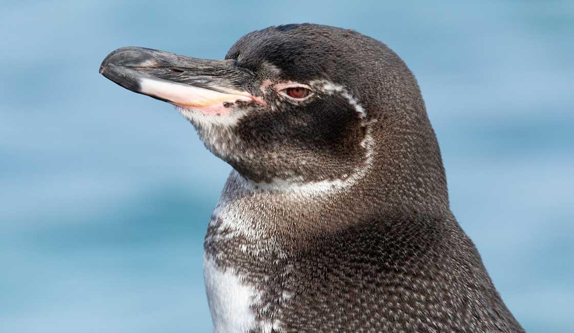 Closeup of a pengui