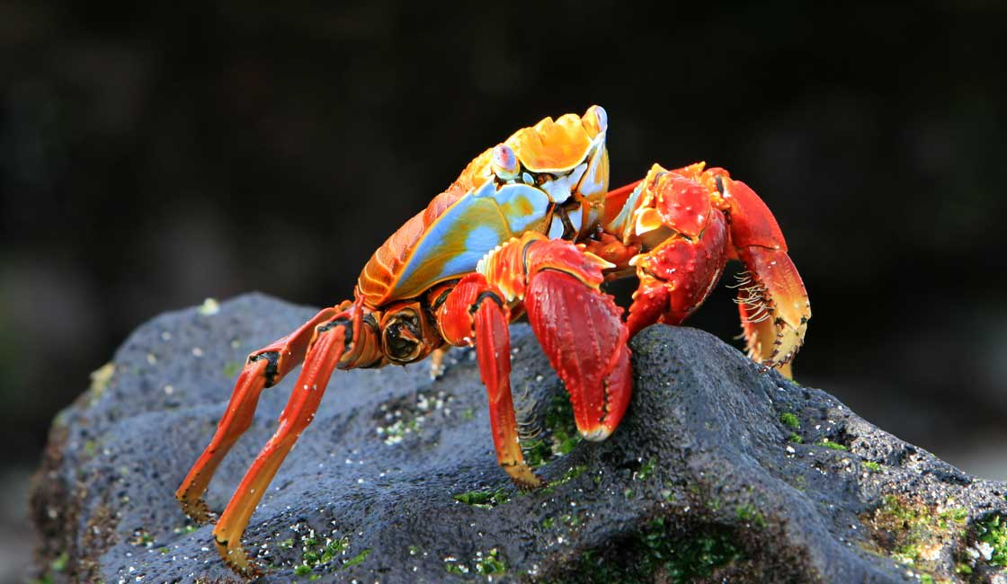 Blue and red crab on a rock
