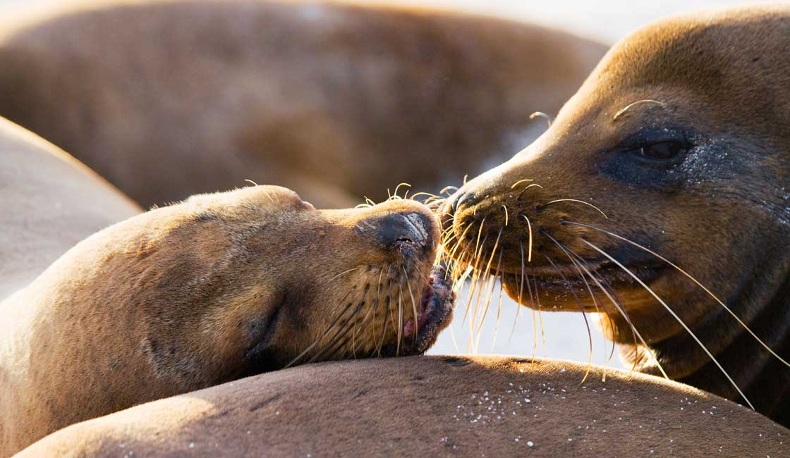 mother nd puppy of sealions