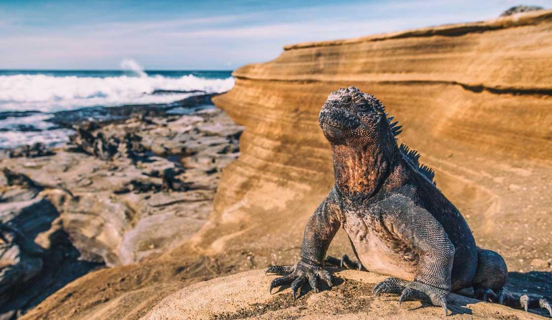 Marine Iguana on the hill