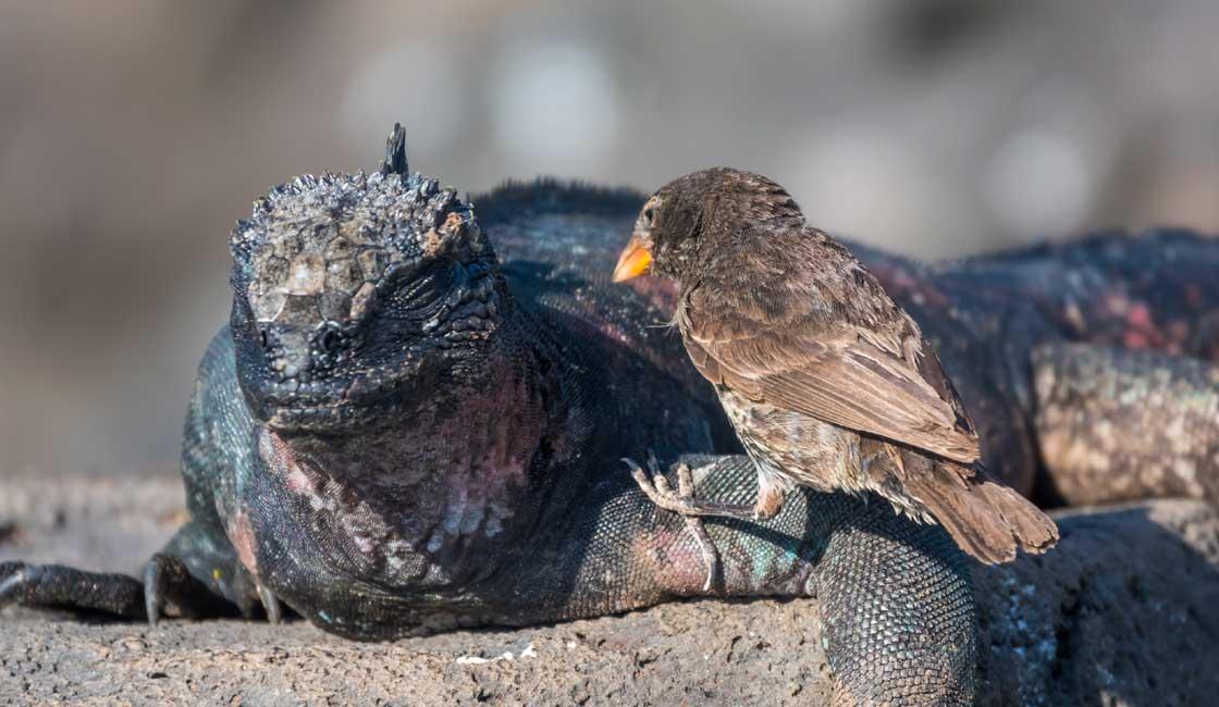 Bird sitting on iguana's leg