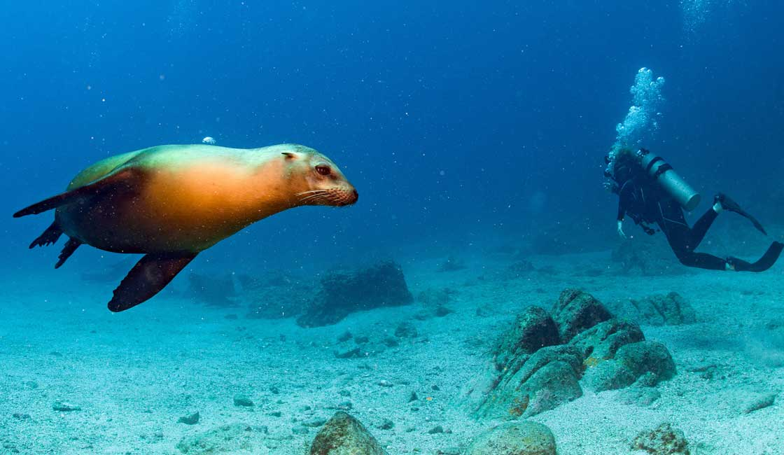 Sea lion and a diver