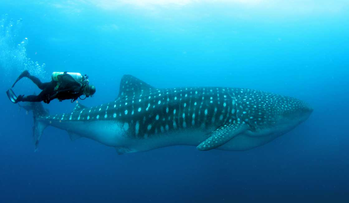 Diver and a whale
