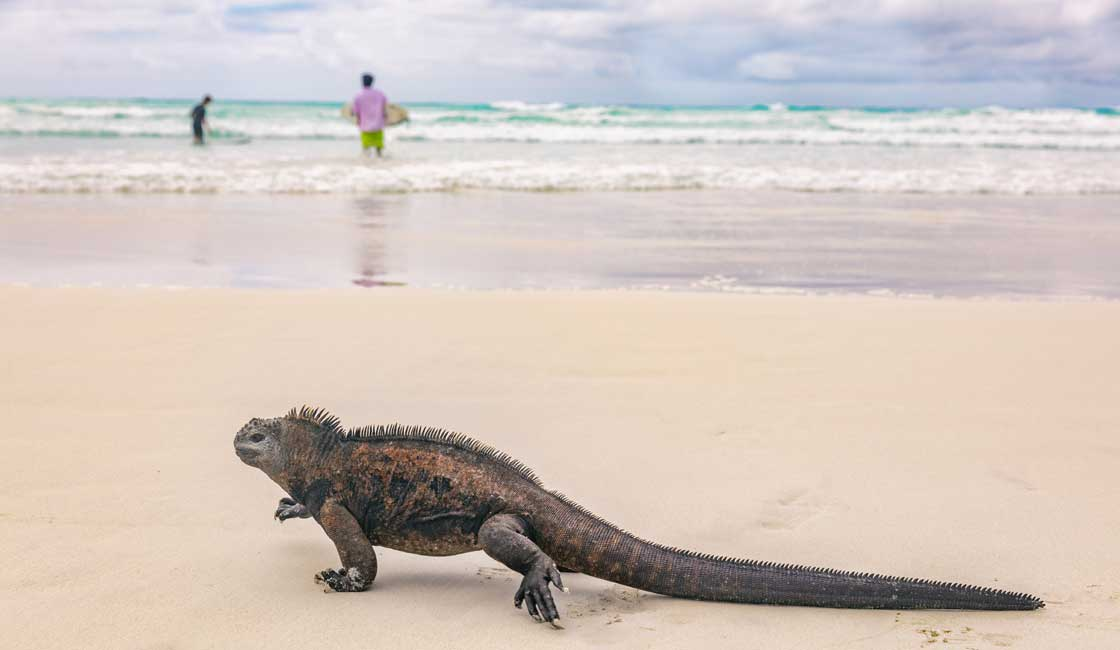 Iguana and surfers in the background