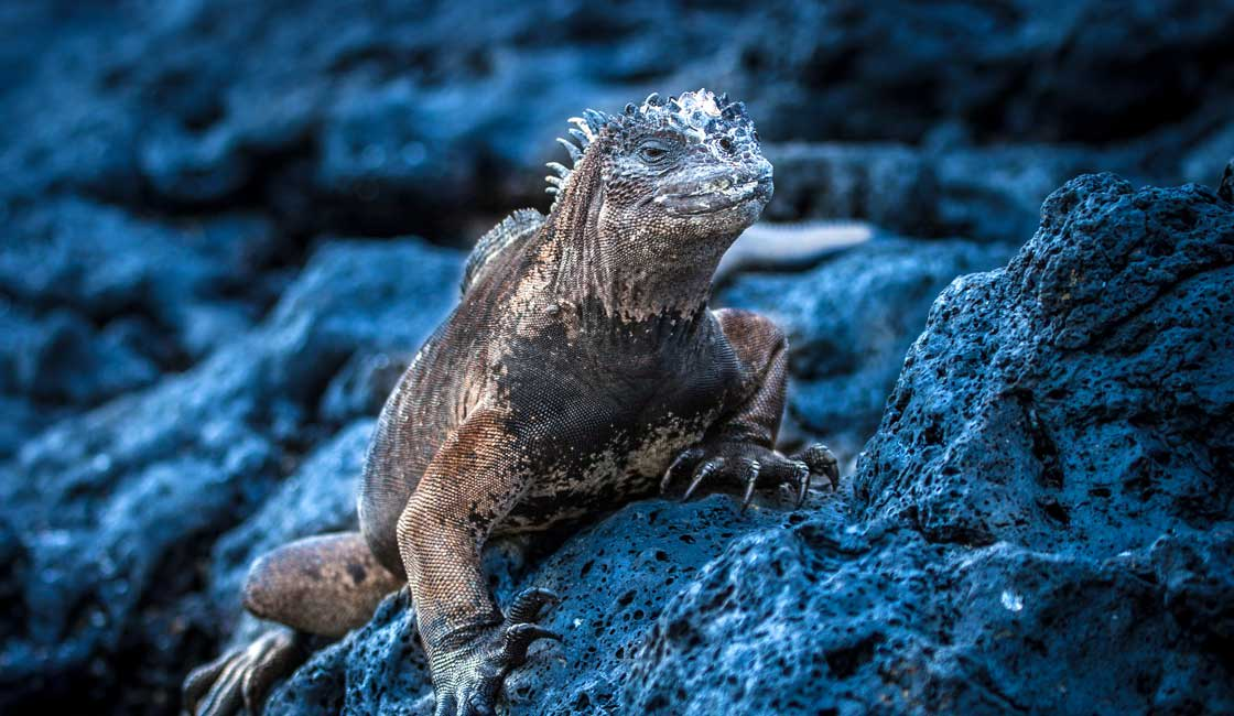 Iguana on a rock in the evening light