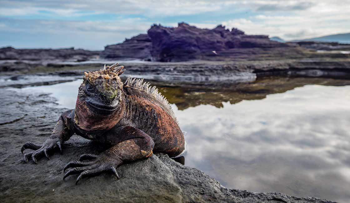 Iguana on the shore