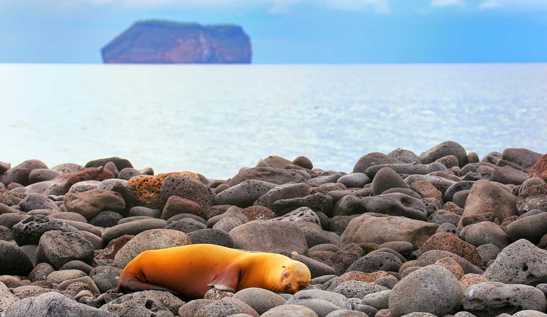 Orange seal on the rocky beach