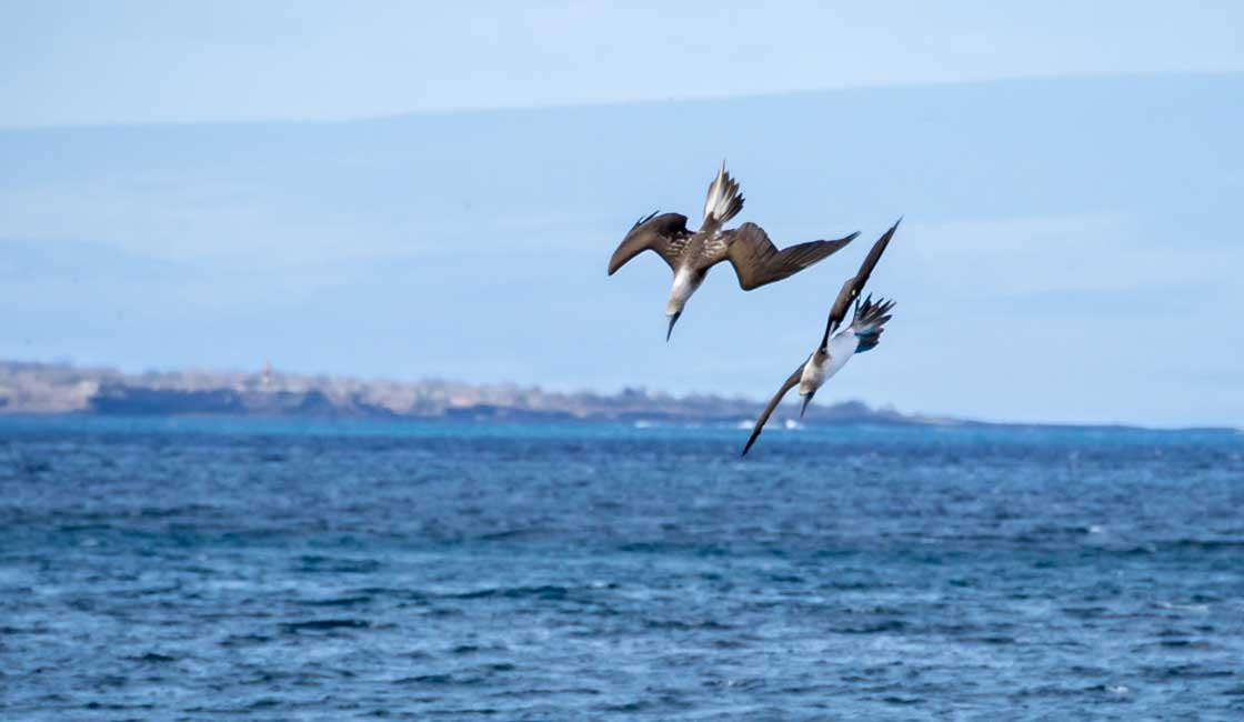 Two birds diving