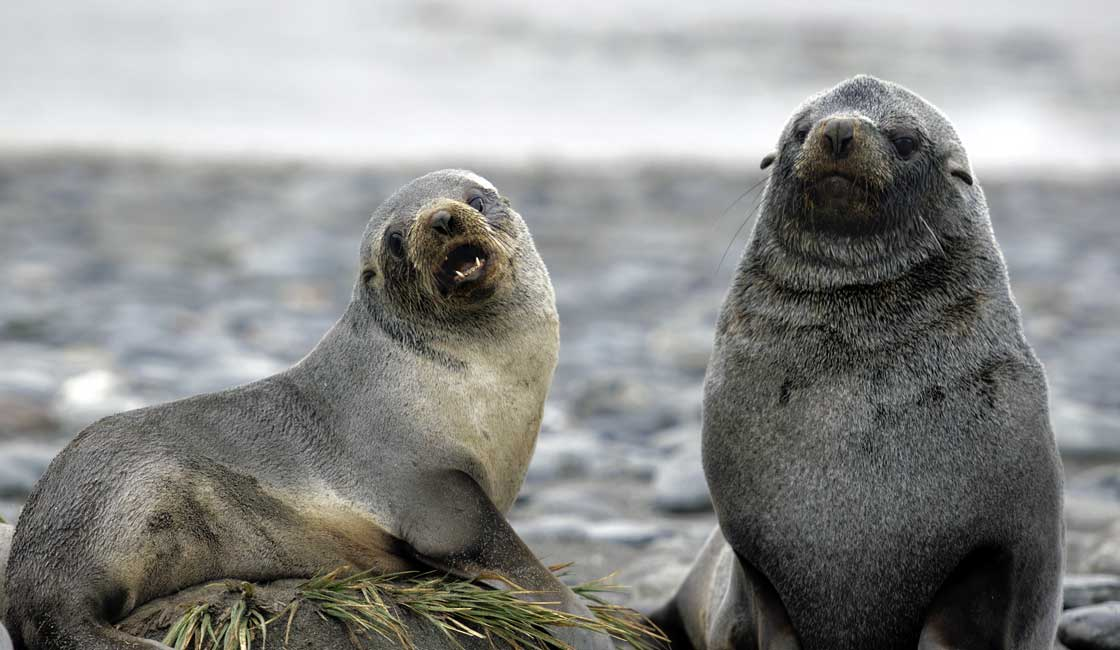 Two seals on a rock by the sea