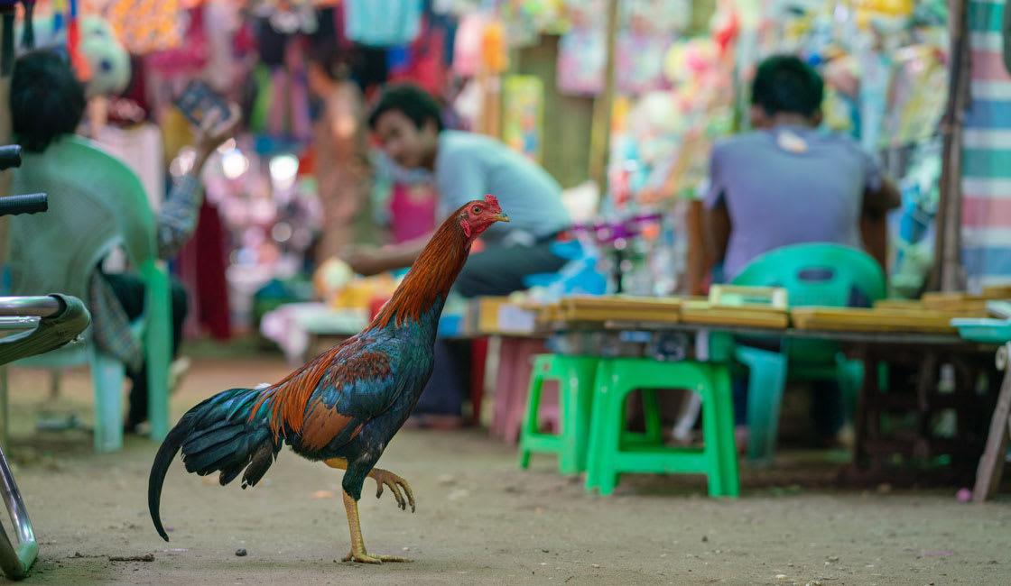 A hen walking in a market