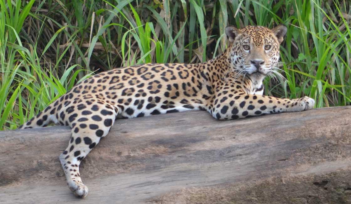 Jaguar resting on a log