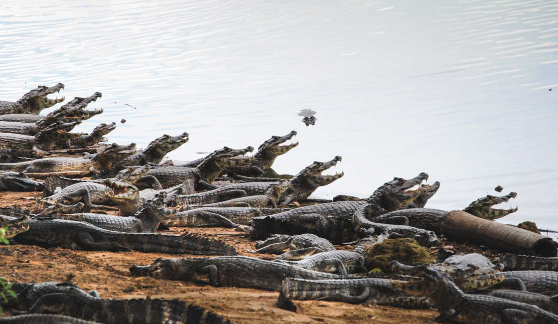 Lines of Caimans at the shore