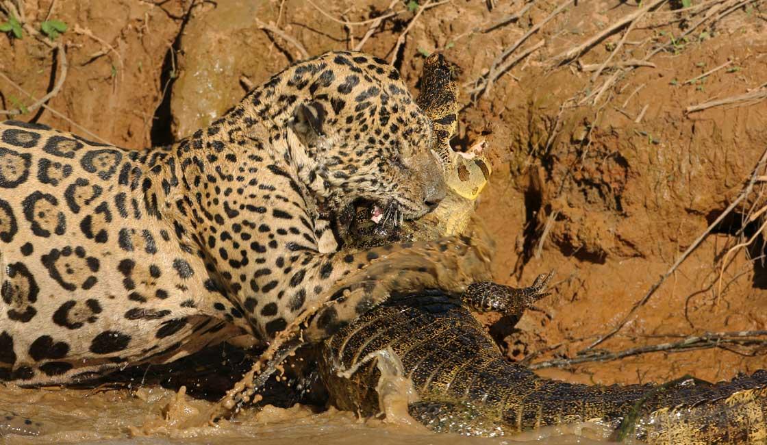 Jaguar attack in Pantanal