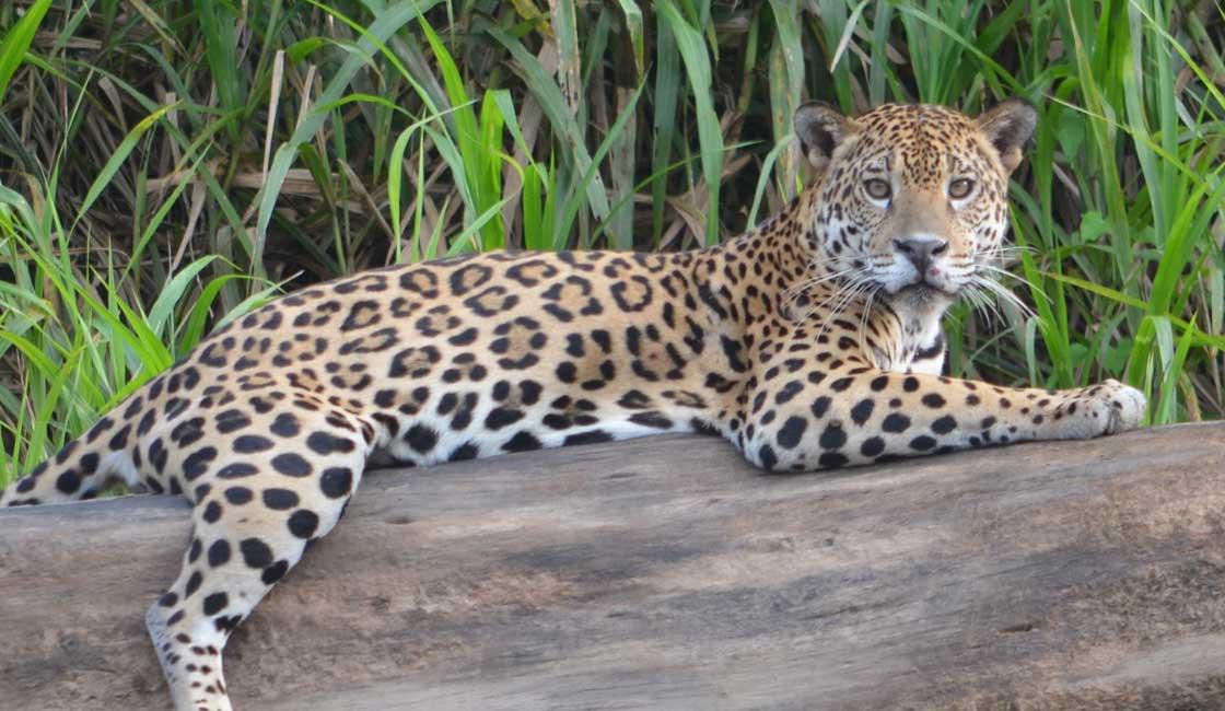 Jaguar on a log
