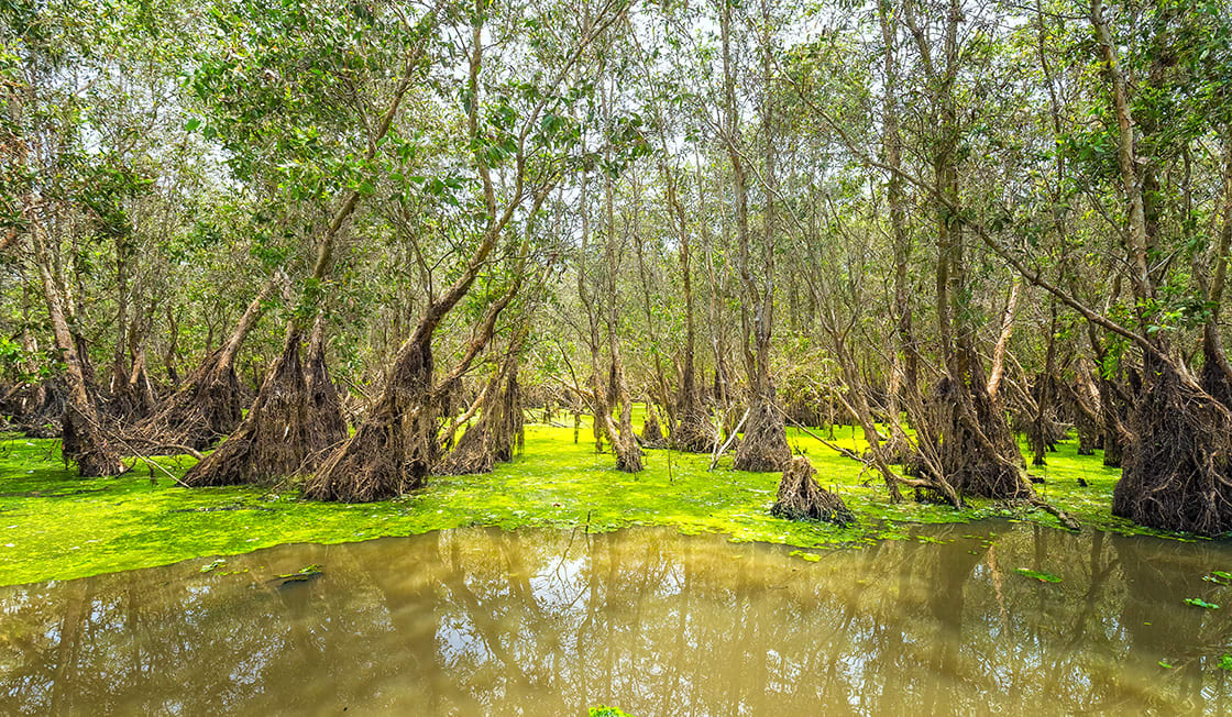 Tra,Su,Forests,Typical,Of,Wetland,Ecosystems,Of,Mangroves