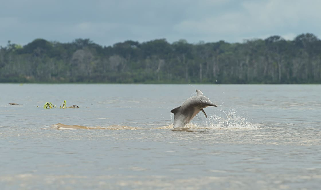 Pink Dolphin In The Amazon River