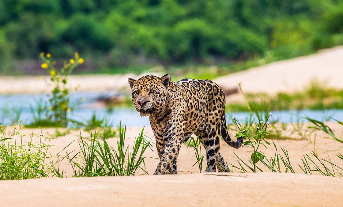 Jaguar Walking Along The Sand