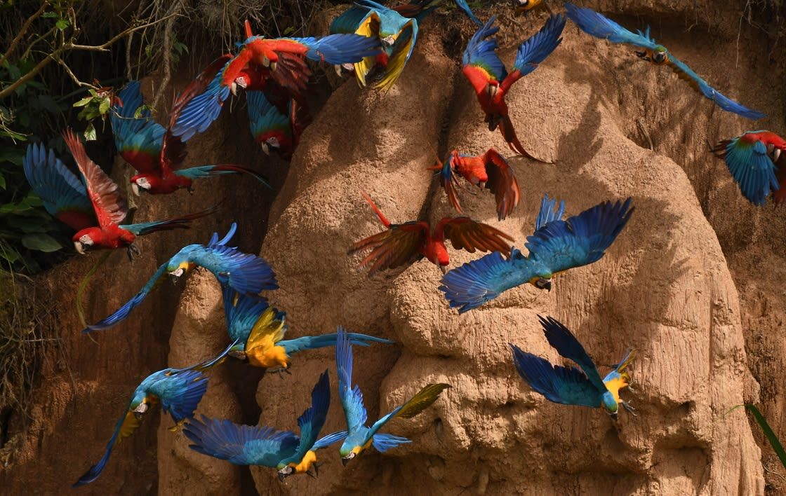 Group Of 3 Species Of Macaws Flying From The Clay