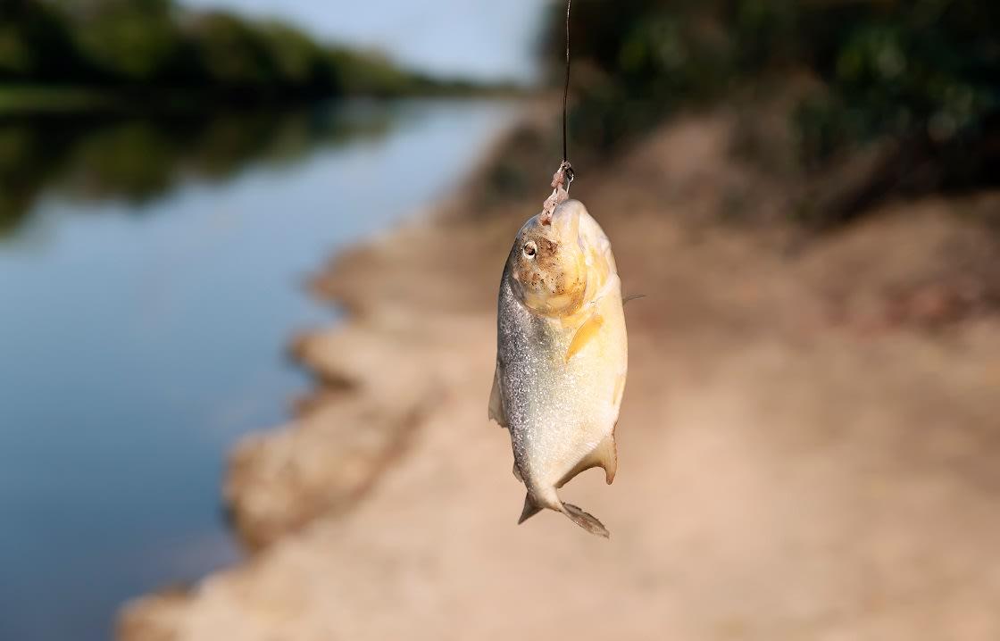 Piranha Caught In Pantanal